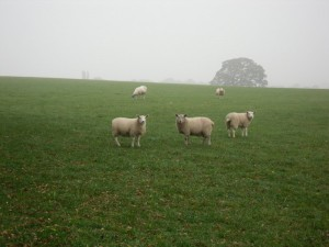 3 sheep in early morning mist