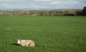 Sheep shot 2