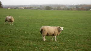 Sheep 1 nov 10